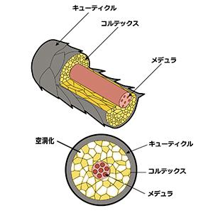 毛質内の空洞化の説明図