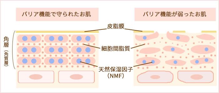バリア機能で守られたお肌は皮脂膜・細胞間脂質・天然保湿因子がしっかりと存在し、お肌の潤いを守っています