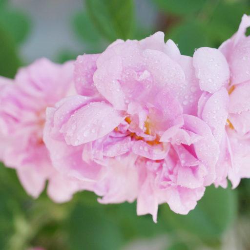 バラの女王「ブルガリアンローズ」の魅力と効能|おすすめ商品もご紹介